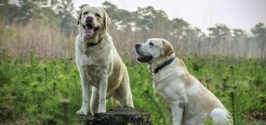 coppia di labrador