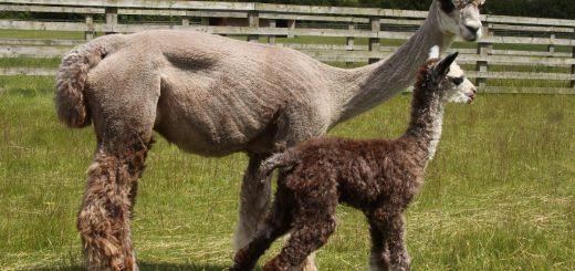 lana d'alpaca