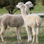 allevamento di alpaca italia