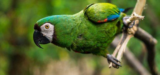 guacamaya-pappagallo