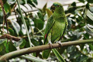 pappagallo amazzonia